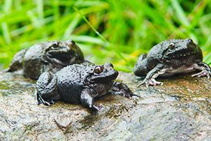 中央七套:仿野生养殖石蛙养殖技术